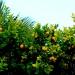 Le paradis des oranges - Sicile 2013